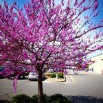 Які дерева з'являться у Чорткові поруч з дяківсько-катехитичною академією – вирішувати вам!